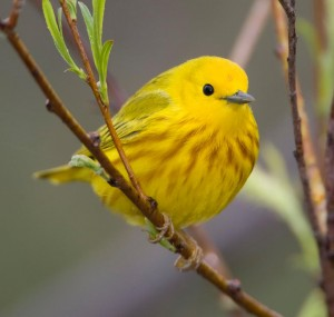 13. American Yellow Warbler