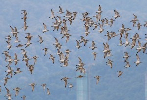 16. Red Knots